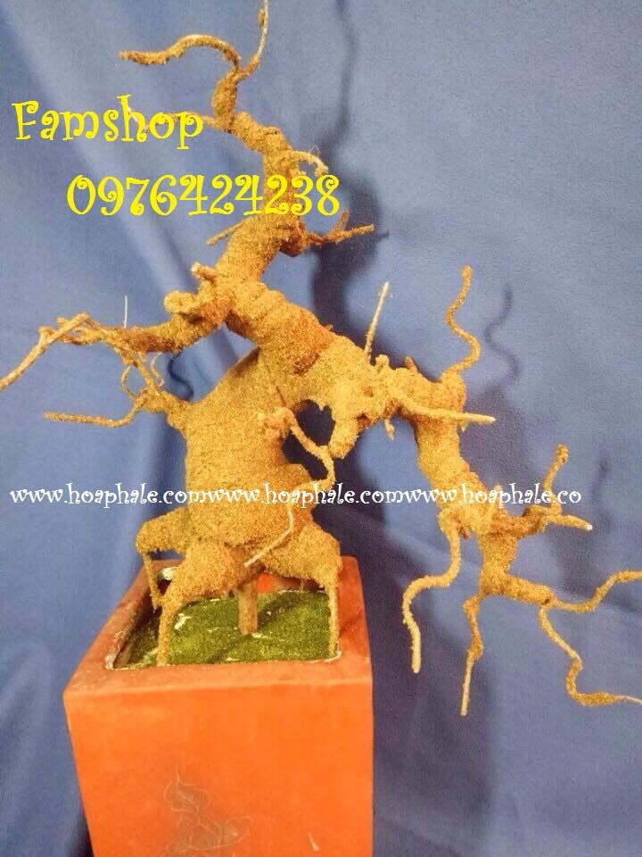 Goc bonsai mai dao tai Dong Da