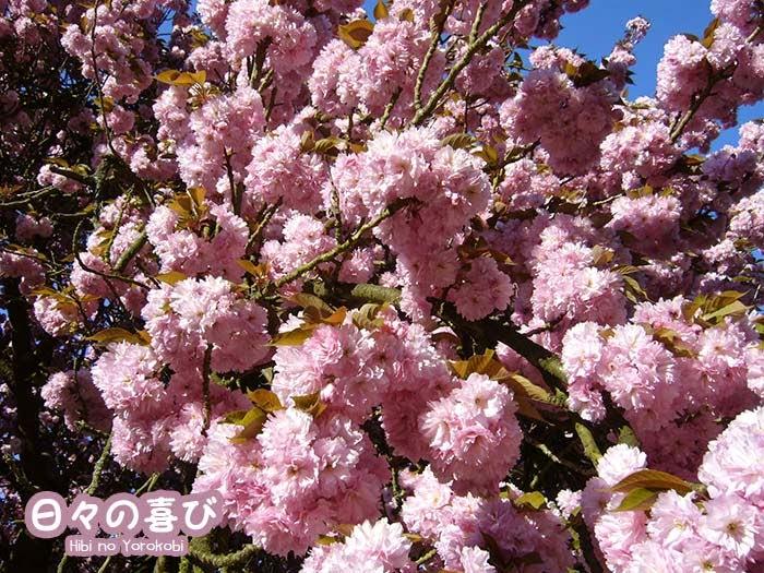 cerisiers parc de sceaux 01