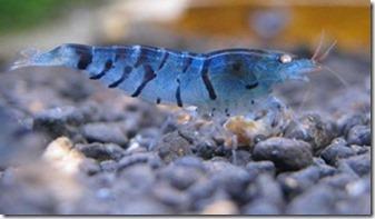 Cách nuôi tép Blue Tiger