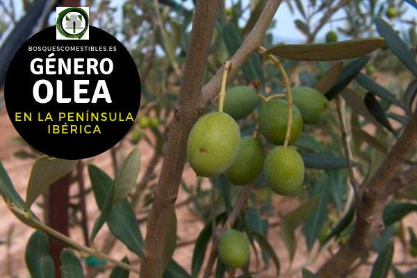 Lista de Especies del Género Olea, Olivo, Familia Oleaceae en la Península Ibérica