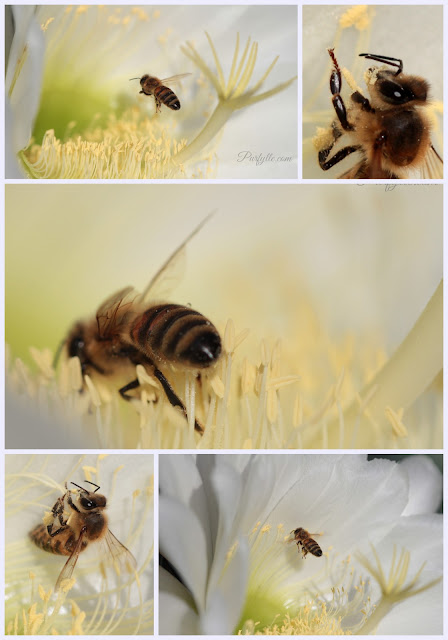 Bee gathering pollen from a cacti flower