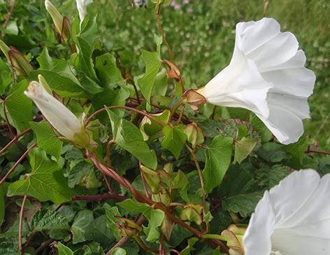 Correhuela mayor (Calystegia sepium)