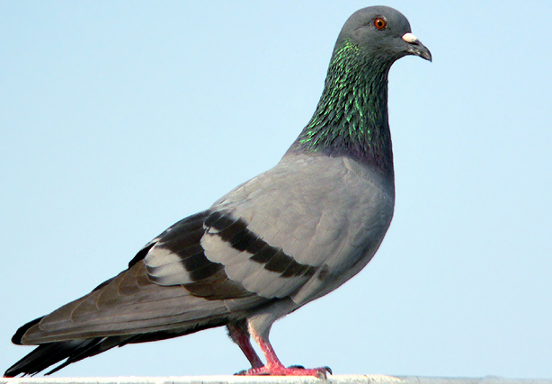 gambar burung merpati Apick Aw0x z