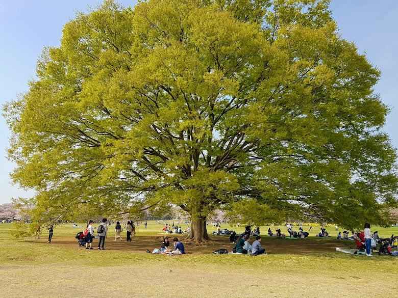 公園內的大櫸樹,在樹下十分涼爽