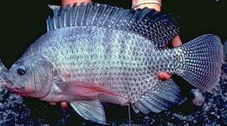 Umpan-Ikan-Nila-Kolam