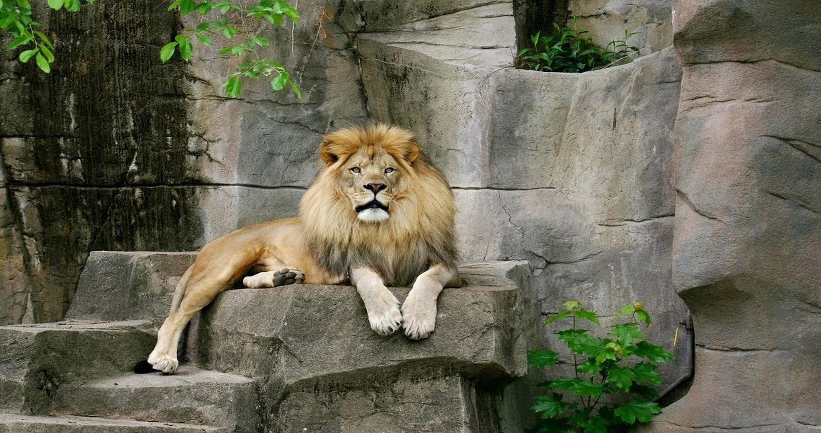 Lion Full HD 1080p Wallpapers ~ LatestWallpaper99