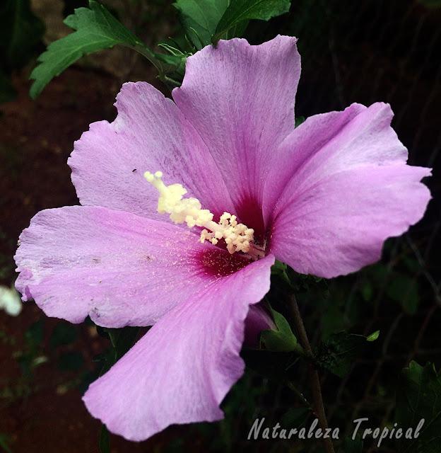 Flor característica de la especie Hibiscus syriacus, llamada Rosa de Siria