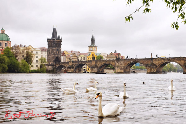 Swans and a view of the Charles Bridge in Prague. photo by Kent Johnson.