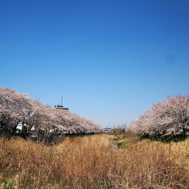 青毛堀川 桜