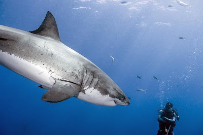Where do you find great white shark?