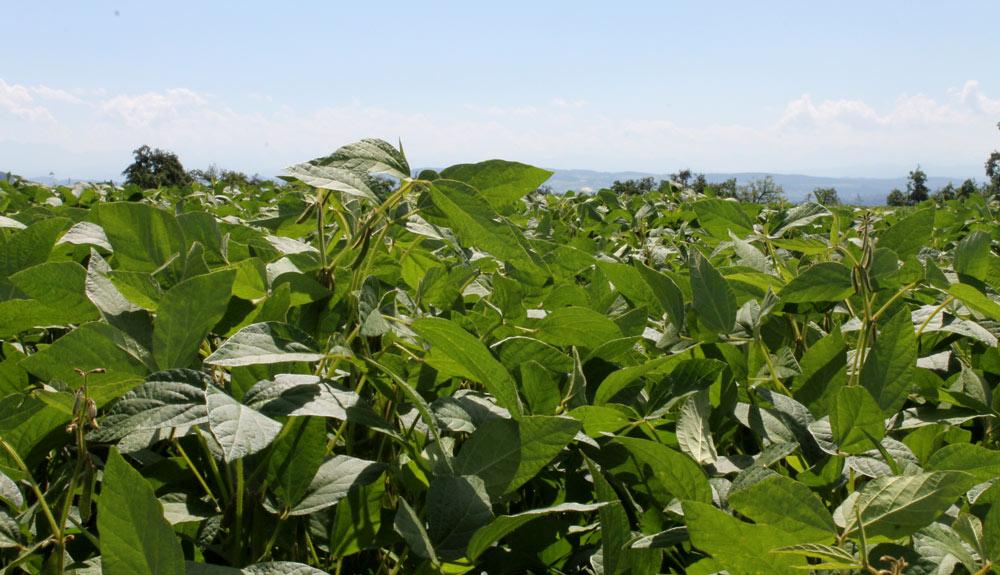 Feld mit Soja-Anbau