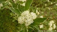 Dereń biały 'Sibirica Variegata'- Cornus alba 'Sibirica Variegata'