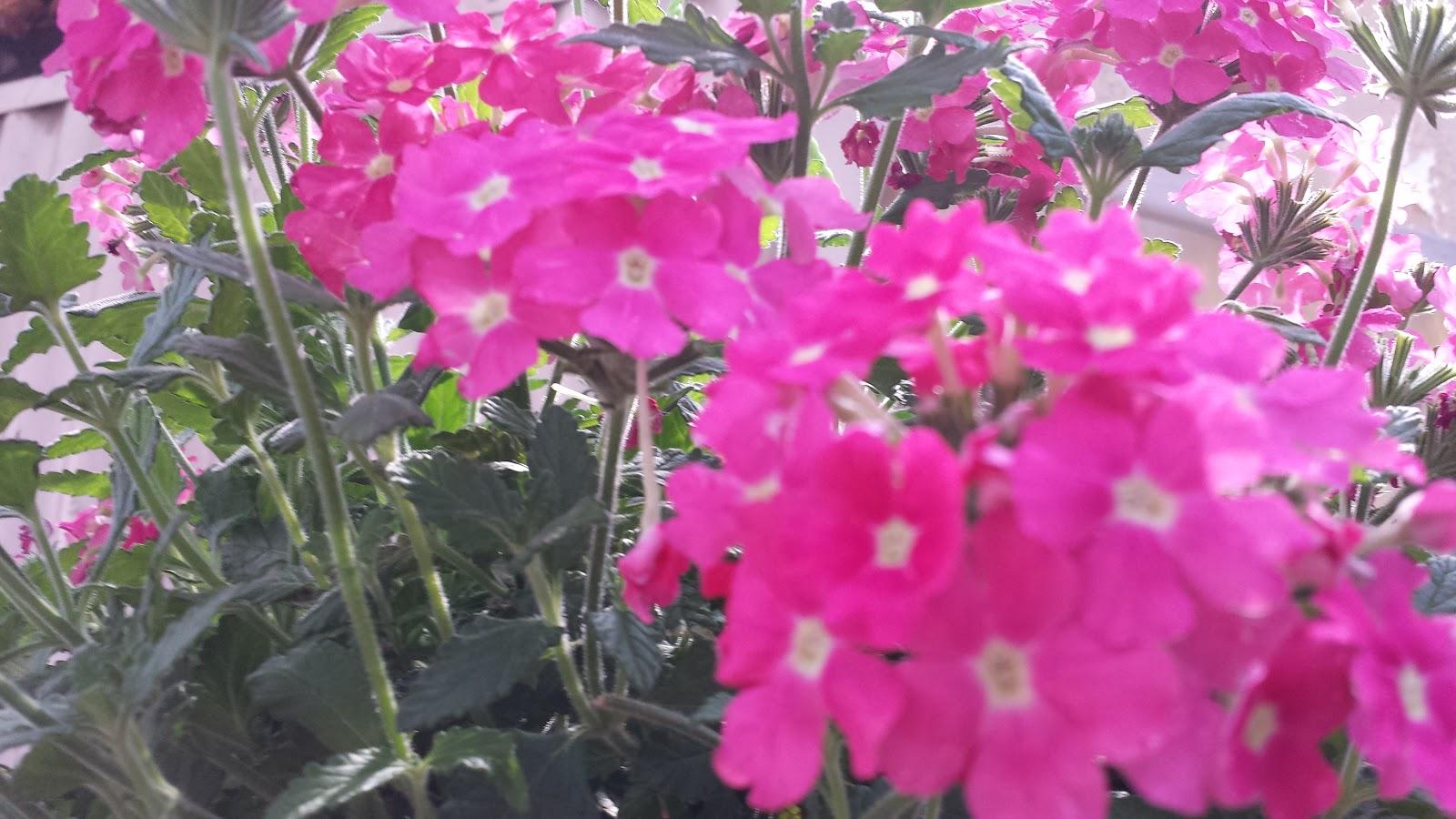 Fiori del mio giardino i fiori dell 39 estate for Giardino fiori