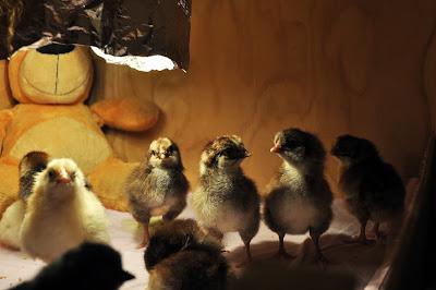 Однодневные цыплята