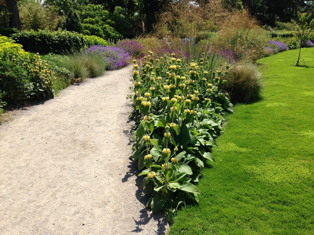 Phlomis russeliana in full bloom colonising another corner bed very well
