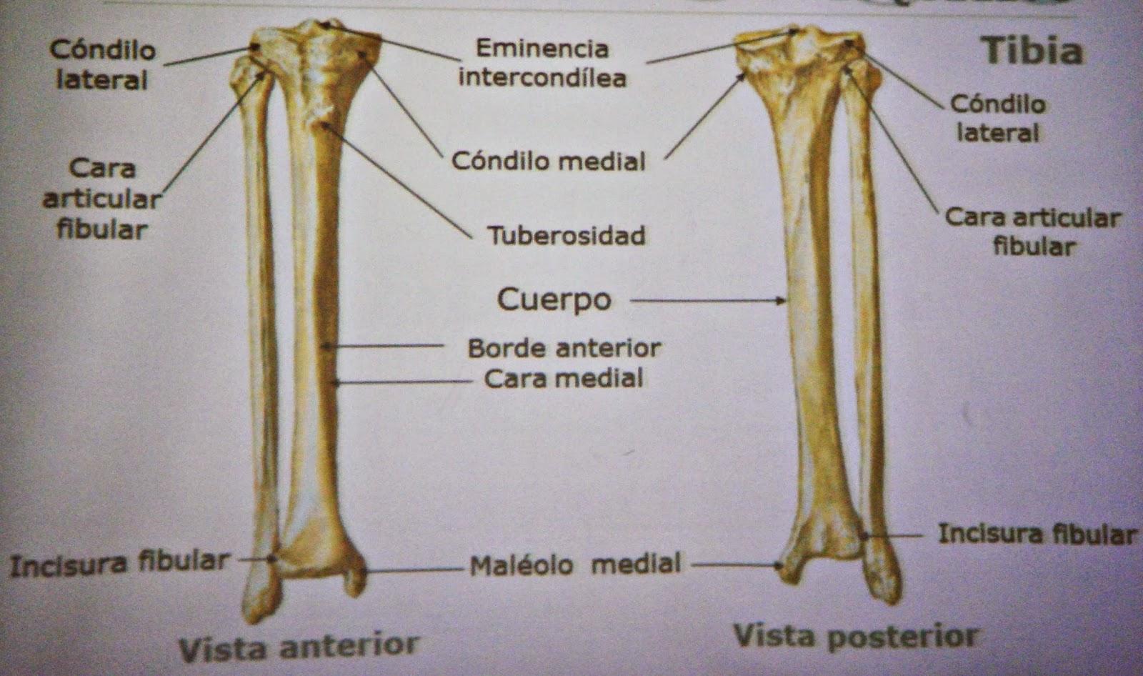 Asombroso Anatomía Hueso Cúbito Galería - Imágenes de Anatomía ...