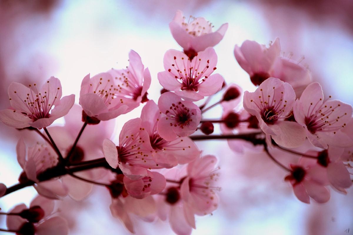 Lovely Shinygirl S Site Cherry Blossom Prunus Serrulata Sakura