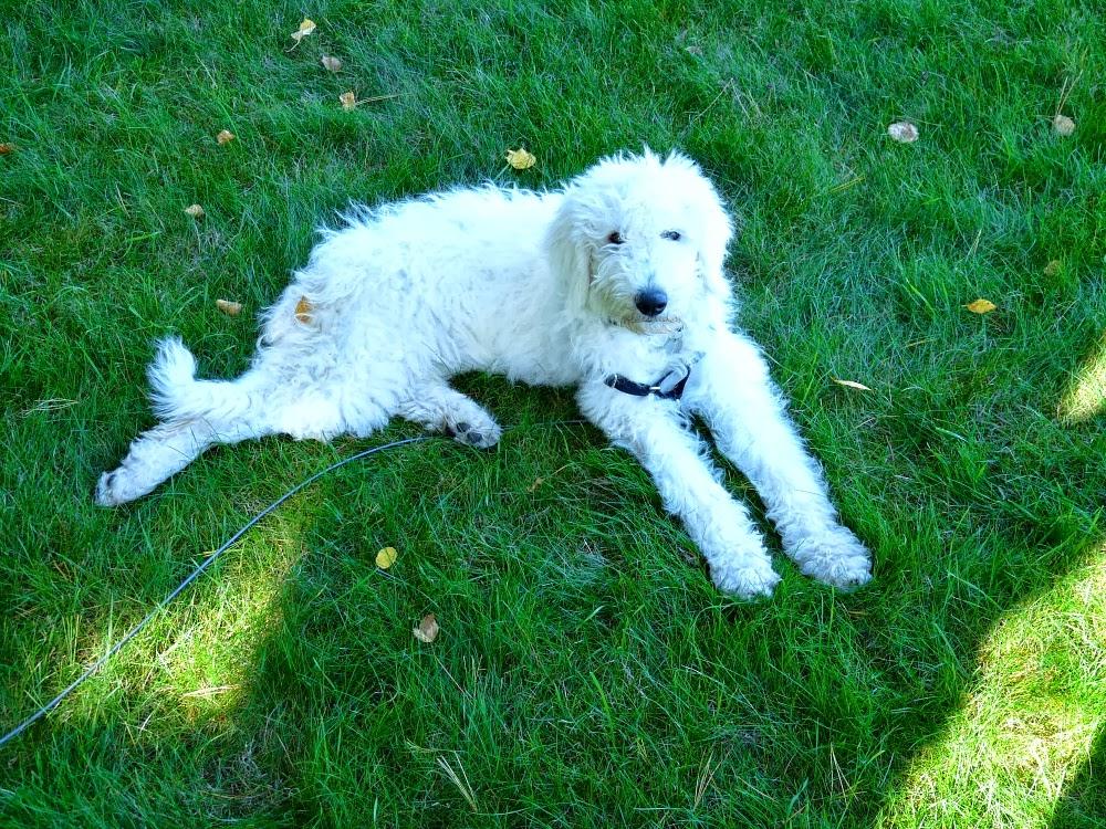 Komondor Puppy Four Months Old