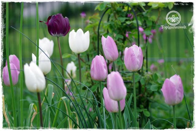 Gartenblog Topfgartenwelt Buchtipp Buchvorstellung Buchrezension: Gartenpraxis im Klimawandel von Lars Weigelt, die Tulpen haben den Wintereinbruch gut überstanden