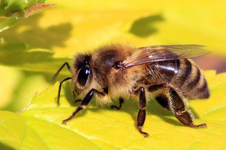 Mengapa Lebah Memiliki Banyak Rambut di Kakinya?