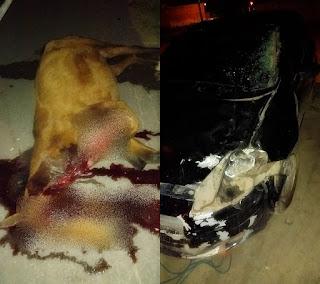 PERIGO! Animais na pista provocam acidente, em Chapadinha.