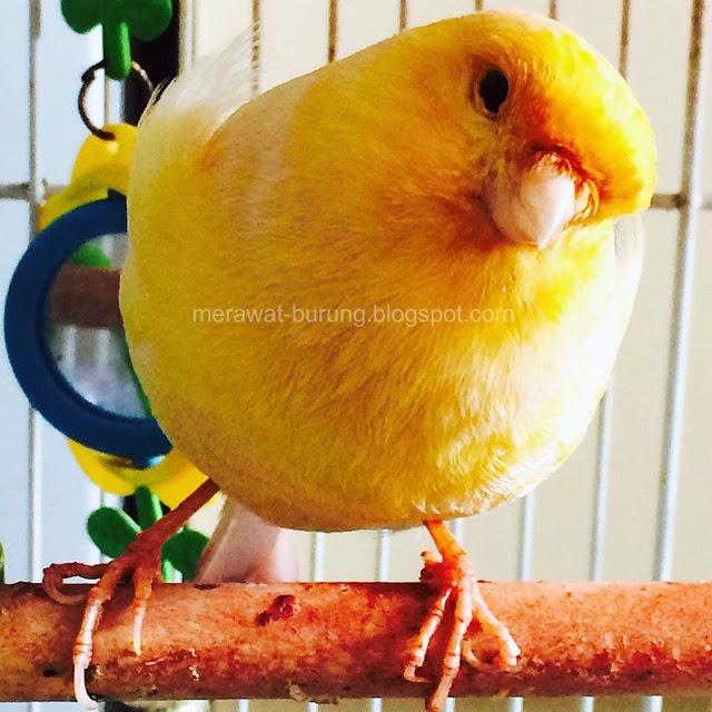 merupakan salah satu burung yang paling banyak dipelihara baik oleh seorang kicaumania ma Jenis-Jenis Burung Kenari dan Negara Asalnya