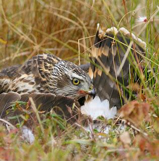 Northern Goshawk eating Harrier in Newfoundland