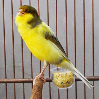 Perawatan Burung Kenari Sebelum Lomba dan Perawatan Burung Kenari Akan Lomba - Solusi Perawatan Burung Kenari