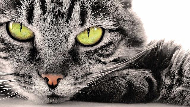 Grijze kat met gele ogen