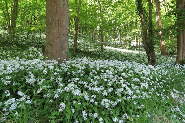 Woodland floor carpeted with broad green leaves and white flowers of garlic plants.