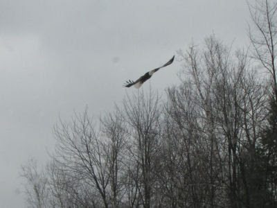 eagle in flight