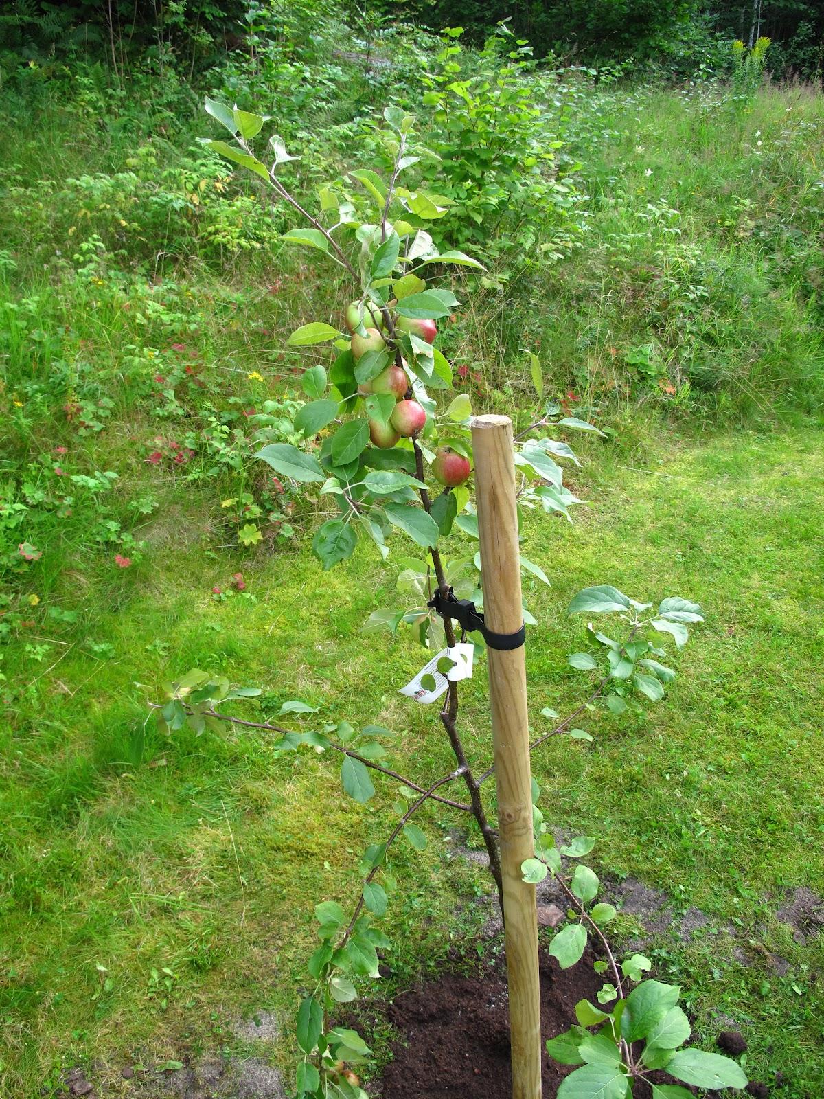 Planting av epletre