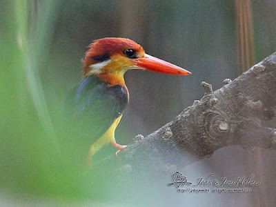 Oriental Dwarf Kingfisher - and supporting cast.