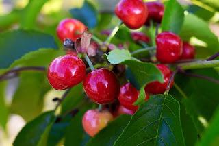 cherry-www.healthnote25.com