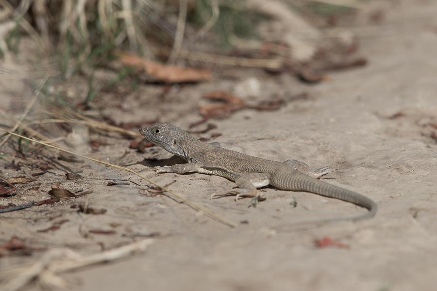 Bosk's fringe-toed lizard – Abha area