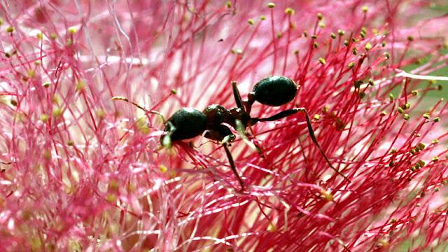 Descubren en hormigas un mecanismo que usan los humanos para prevenir la propagación de enfermedades