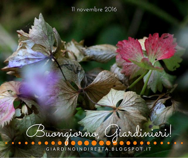 ortensia (hydrangea macrophylla) - l'agenda del giardino e del giardiniere - un giardino in diretta