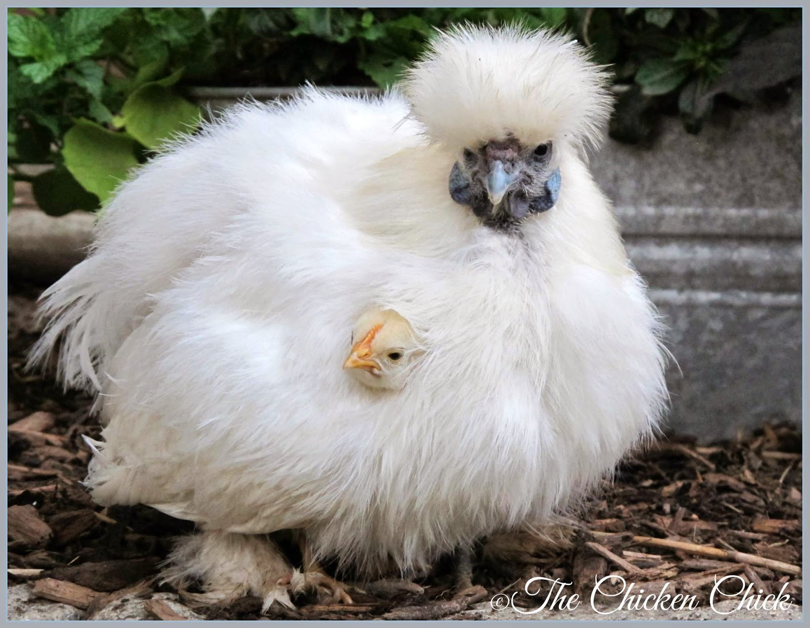 Flock Focus Friday, 8/8/14 | The Chicken Chick®  Flock Focus Fri...
