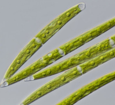 Ancient alga knew how to survive on land before it left water and evolved into first plant