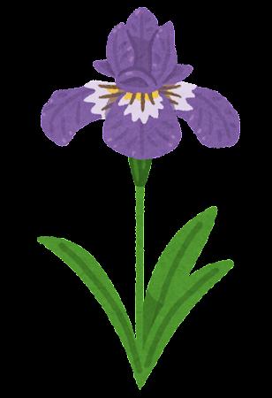 アヤメのイラスト(花)