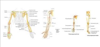 Tulang gerak manusia