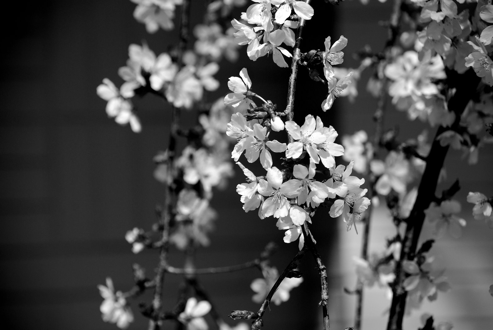 Black and White Only: Cherry Blossoms - Branch Brook Park ...