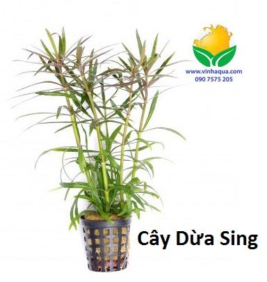 Phụ kiện thủy sinh - cây dừa sing trồng hậu cảnh