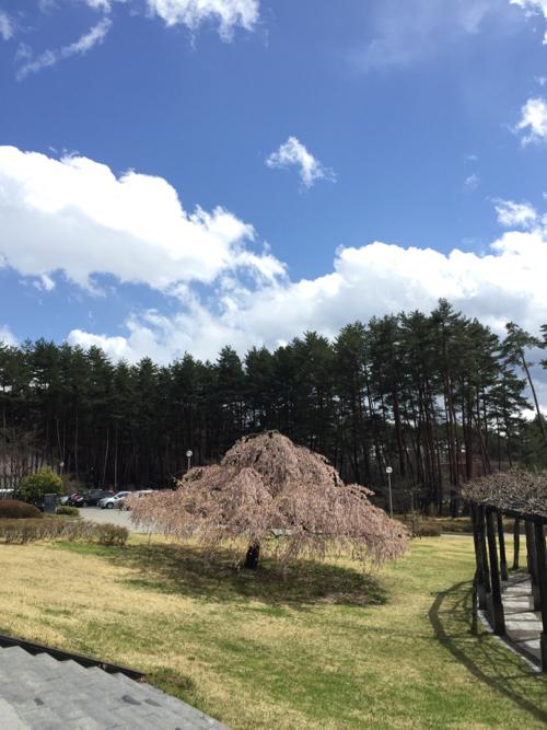 道の駅で枝垂れ桜