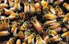 Πόσο χρονών γεννάει περισσότερο η βασίλισσα; Μυστικά πάνω στη δημιουργία των δυνατότερων μελισσιών. Απαντήσεις μεγάλων μελισσοκόμων