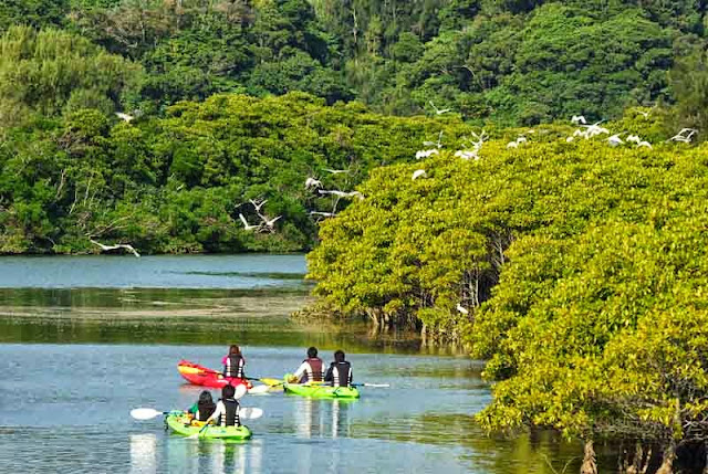 river, kayaks,birds,eco-tourists,mangrove forest