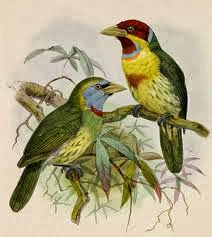 Blue moustached Barbet