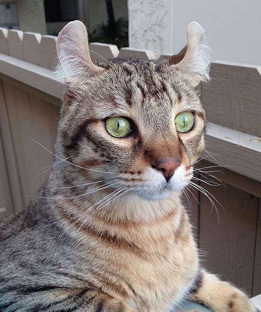 قط هايلاندر highlander اغرب القطط