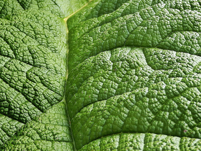 Leaves of the giant Gunnera