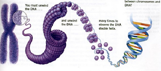 Pengertian dan Macam-Macam Kromoson Manusia